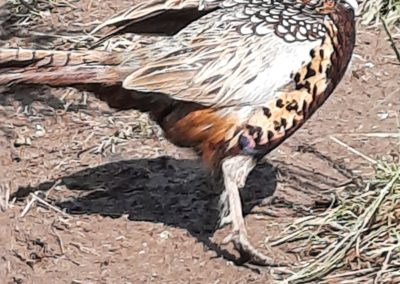 ringnech pheasants for sale 5